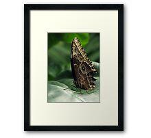 Common Blue Morpho Butterfly on leaf Framed Print