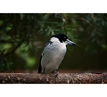 Grey Butcher Bird Photographic Print