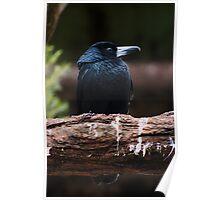 Black Butcher bird Poster