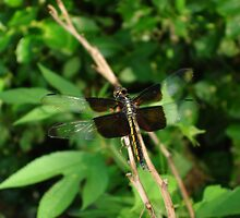 Cellophane Dragonfly by patsyspics