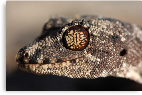 Katherine form Spiny-tailed Gecko by Steve Bullock