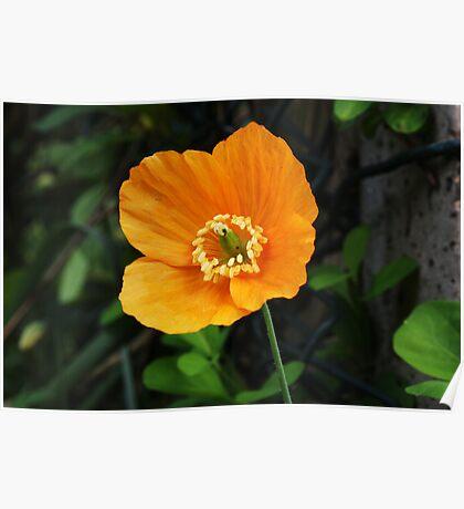 Orange Poppy II Poster