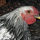Wyandotte Rooster by David  Postgate