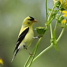 Clinging Goldfinch by Debbie Oppermann