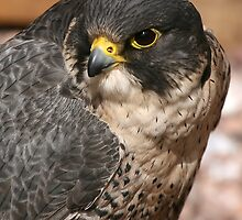 Peregrine Falcon by kajo
