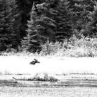 Moose and Beaver Dam - Algonquin Park by ajnphotography
