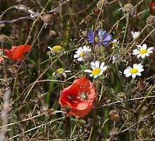 Poppies 1 by JohnT