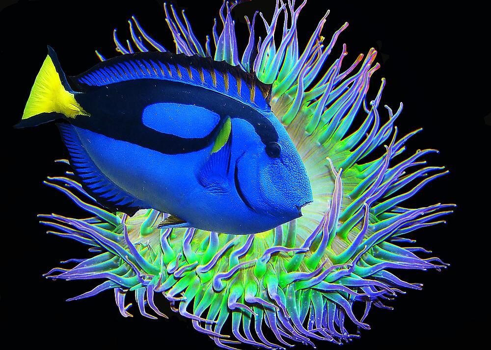 BLUE SURGEONFISH by Michael Sheridan