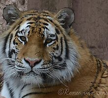 Fluff Tiger Photographic Print by DesignsByNee
