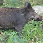 Wild Hog  by Mountaineer