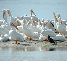 White American Pelicans With Black Friend by pjwuebker
