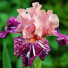 She's A Lady - Iris by Debbie Oppermann