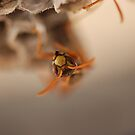 Wasp - just hanging around by ssphotographics
