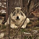 Hiding in plain sight - Timber Wolf by Poete100
