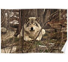 Hiding in plain sight - Timber Wolf Poster