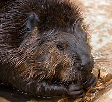 Leave it to the Beaver by Michael Selge