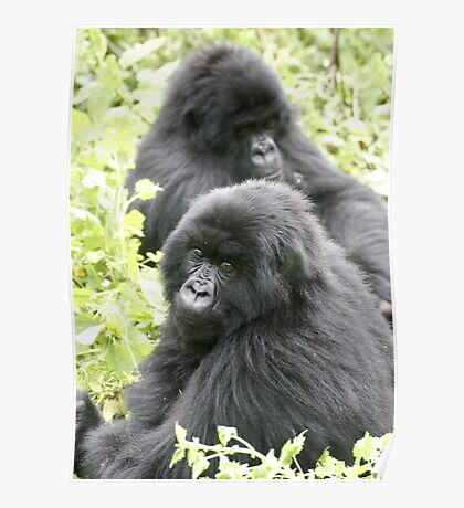 Mountain Gorillas II Poster