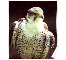 Hobby - Bird of Prey Poster