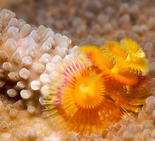Ribbon Reefs - Christmas Tree Worms by Douglas Stetner