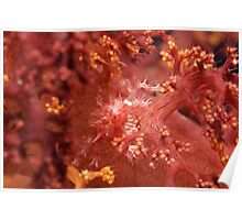 Ribbon Reefs - Coral Crab Poster