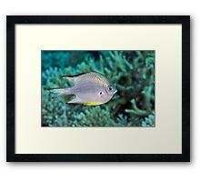 Ribbon Reefs - White-belly Damsel Framed Print