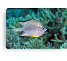 Ribbon Reefs - White-belly Damsel Canvas Print