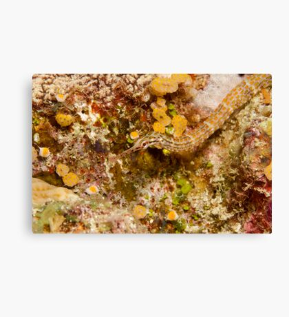 Ribbon Reefs - Pipe Fish Canvas Print