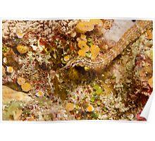 Ribbon Reefs - Pipe Fish Poster