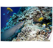 Osprey Reef - Shark and Moray Poster