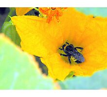 Bumble Bee series.... Photographic Print