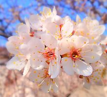 Fresh blossoms by Eugenio