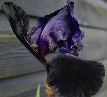 iris by g369