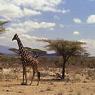 Reticulated Giraffe (Camelopardalis reticulata) by Bev Pascoe