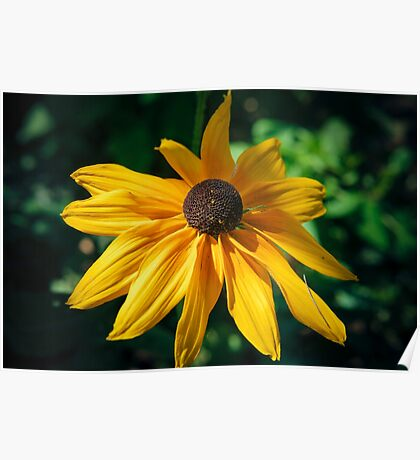 Echinacea yellow Poster