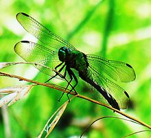 dragonfly by Catherine  Howell