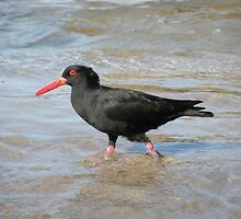 Sooty Oystercatcher - striding out purposefully. by Trish Meyer