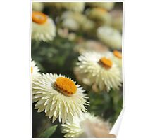 Paper daisies kind of day  Poster