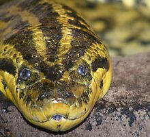 Green anaconda by Trevor Fellows
