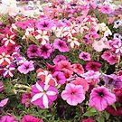 Pretty in Pink - Werribee Park, Victoria by Bree Lucas