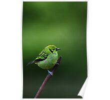 Emerald Tanager Poster