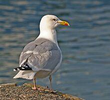 Herring Gull by ianrose82