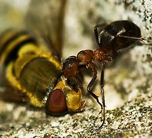 Ant eating of an eye by Frevik