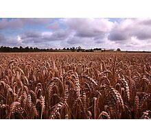 Broughton Barley Photographic Print