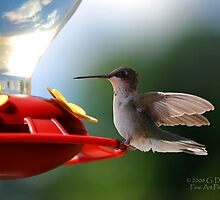 Hummingbird 4 by G. David Chafin