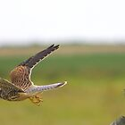 Kestrel In Flight......... by jdmphotography