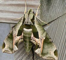 Camo Moth by Cathy Cale