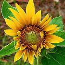 SunFlower by Heavenandus777