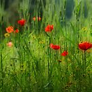 Poppies by Peter Hammer