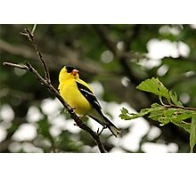 Brilliant Observer Goldfinch Photographic Print