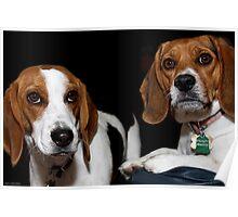 Beagles Poster